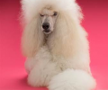 Google Engineers Discover a 'Poodle' flaw in Web Encryption Standard: Don't Use Public Wi-Fi