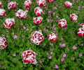 7art Wild Flowers ScreenSaver Screenshot 0