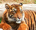 Amazing Tigers Screensaver Screenshot 0
