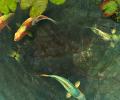 Koi Fish 3D Screensaver Screenshot 0