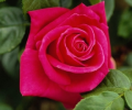 Beautiful Roses DesktopFun Screensa... Screenshot 0